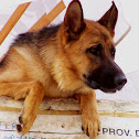 German sheperd dog (Pastore Tedesco)