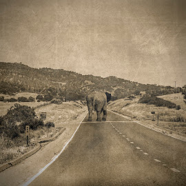 elephant by Artur Kuligowski - Animals Amphibians ( old, vintage, elephant, view, road, animal )