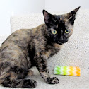 Tortoiseshell kitten (domestic)