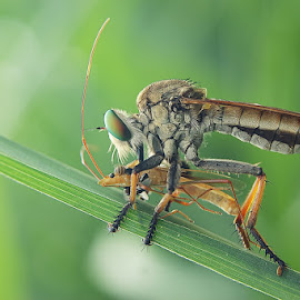 by Sengkiu Pasaribu - Animals Insects & Spiders
