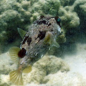 Longspine Porcupinefish