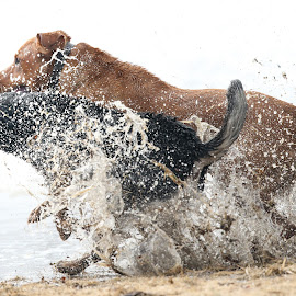 Splish Splash by Peter Marzano - Animals - Dogs Playing