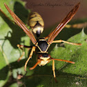 Paper Wasp