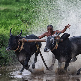 Kambala at Pallakad by Achintya Guchhait - News & Events Sports ( kambala, kerala, pallakkad, bull, race )