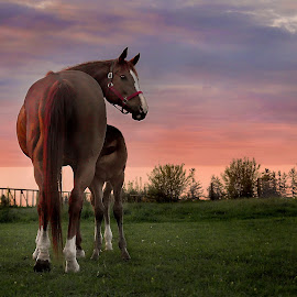 Loula and Sammy by Deanna Ramsay - Animals Horses ( mare, pasture, dawn, foals, horses, colt, broodmare, sunrise,  )