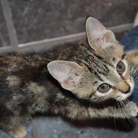 Belle by Eric Schwenck - Animals - Cats Kittens ( cat, kitten, kitten playing, cute, kitty,  )