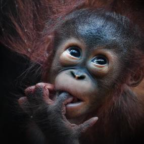 Shy by Michael Milfeit - Animals Other Mammals ( puppie, orang-utan, menschenaffe, schüchtern, pongo, primat, , baby, young, animal )