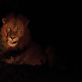 In the Wild by Evelien van der Hurk - Animals Lions, Tigers & Big Cats ( lion, 2014, south africa, night, addo eliphant parc, nikon d90 )