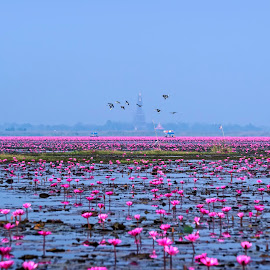 Red Lotus Sea by Crispin Lee - Landscapes Travel