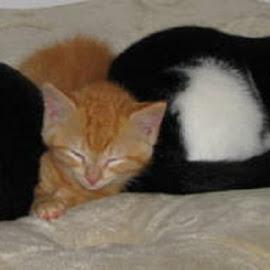Cat Nap by Terry Moffatt - Animals - Cats Portraits ( cats, domestic pets, black cats, pets, ginger cats, domestic cats )