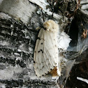 Gypsy Moth (Female)