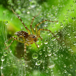spider by Amol Patil - Animals Insects & Spiders ( water, dew, drops, web, spider )
