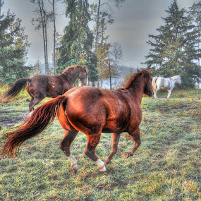 Running with the Herd by Skye Ryan-Evans - Animals Horses ( horse-lovers, horses, horse-ranch, quarter horses, running-herd, sorrel-horse, cantering-horses, equine-photography, chestnut-horse )