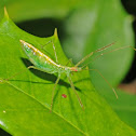 Pale green assassin bug (nymph)