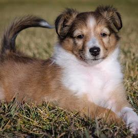 Teddy by Rick W - Animals - Dogs Puppies ( collie, herding dog, puppy, dog, portrait )