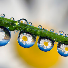 Daisy reflections by Alberto Ghizzi Panizza - Abstract Water Drops & Splashes ( water, reflection, droplet, grass, dew, drop, blade, daisy, sphere, flower,  )