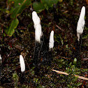 Candlestick fungus