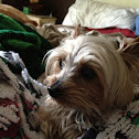 Bruno the Yorkshire Terrier