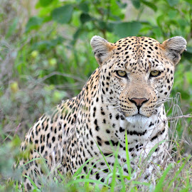 Observer by Megan Botha - Animals Lions, Tigers & Big Cats ( cats, spotted, wildlife, kruger, leopard )