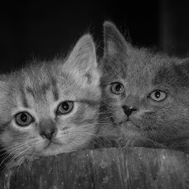 Barnyard Lions by Rick W - Animals - Cats Kittens ( cats, black and white, barn cats, kittens, portrait )