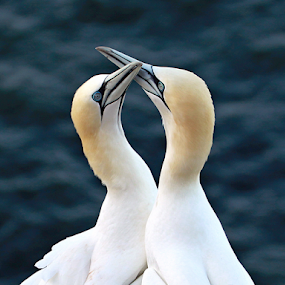 Lovers by Blaz Crepinsek - Animals Birds (  )