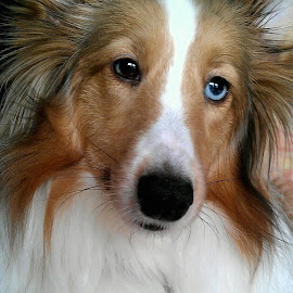 by Sandy Newfield - Animals - Dogs Portraits ( puppy, dog, sheltie, eyes )