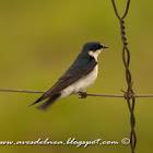 Golondrina ceja blanca (White-rumped swallow)