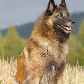 Waiting for instructions by Mia Ikonen - Animals - Dogs Portraits ( loyal, obedient, belgian shepherd tervueren, beautiful, finland )