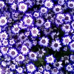 by Pritam Bhowmick - Flowers Flower Gardens (  )