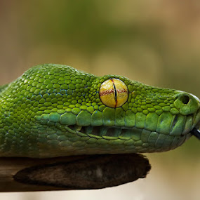 Green tree python by Sugeng Sutanto - Animals Reptiles ( snake, reptiles, animals, reptile, snakes, animal )