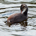 Great crested grebe (juvenile)