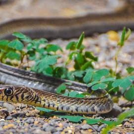 Sleek and smooth by Sujit Shanshanwal - Animals Reptiles (  )