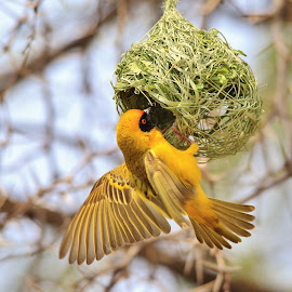 Golden Weaver - Building Home by Dries Alberts - Animals Birds ( freedom, backdrop, striking, free, inspiration, nature, iconic, tree, wings, action, wonder, focus, thorns, focussed, serious, wild, grass, majestic, superb, bird background, symbolic, pleasure, magnificent, grace, season, fly, outdoors, home, captivate, unique, joy, splendor, screensaver, wildlife, security, cute, super, tranquil, life, gorgeous, happy, harmony, contruct, africa, inspire, construction, classic, animal, icon, avian, weaver, beautiful, nest, plumage, feathers, fantastic, southern masked weaver, bird, flight, safety, elegant, background, determined, summer, intend )