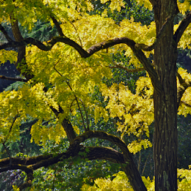 Yellow Tree by Keith Sutherland - Landscapes Forests ( tree, fall, yellow, leaves, branches )