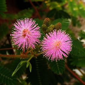 Touch me not by Kaushik Bera - Flowers Single Flower (  )
