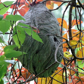 A large nest in the trees by Susanne Swayze - Nature Up Close Hives & Nests