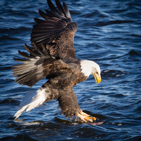 Going For It by Mike Trahan - Animals Birds ( flight, nature, bald eagle, mississippi )
