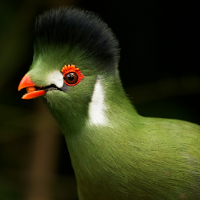 Green Crested Turaco by Merina Tjen - Lim - Animals Birds ( green; crested; turaco; bird; eating )