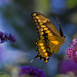 Swallowtail Heaven by David Hammond - Digital Art Animals
