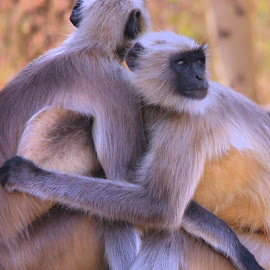 We are a couple by Amit Bhattacharjee - Animals Other Mammals ( langur, ellora, aurangabad, mammal, animal )