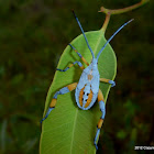 Eucalyptus tip bug, clown bug (5th instar)