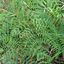 Lacy Bracken Fern