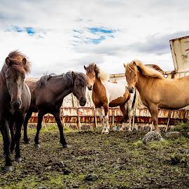 Icelandic Horses by David Long - Animals Horses ( iceland, horses )