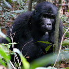 Mountain Gorilla juvenile
