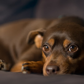Just Let Me Be by Keydrin Franklin - Animals - Dogs Portraits ( dogs, 85mm, pets, d610, portraits, nikon, minpin, miniature pincsher, miniature )