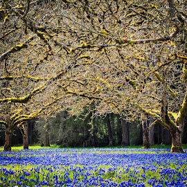 Blue flower carpet by Joan Rankin Hayes - Nature Up Close Trees & Bushes ( orchards, nature, seasons, blue, trees, flowers, landscape )