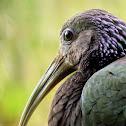 Green Ibis