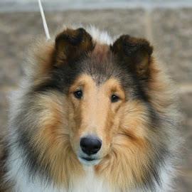 The Collie by Karin Bennett - Animals - Dogs Puppies ( headshot, collie (rough) )