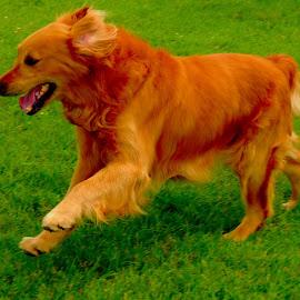 Sam by Stephanie Kendall - Animals - Dogs Running ( animals, dogs, pets, dog, running, golden retriever,  )
