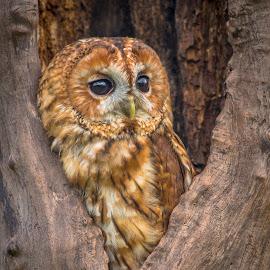 Tawny Owl by Mark Taylor-Flynn - Animals Birds